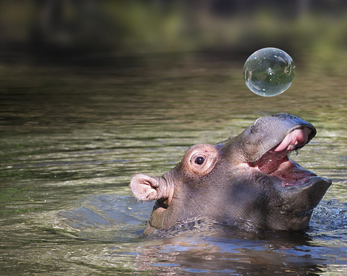 10+ Baby Hippos That Will Make Everything Better - Εικόνα 4