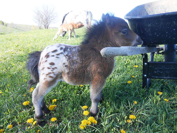 15+ Mini Horses You Don't Want Your Kids To See - Εικόνα