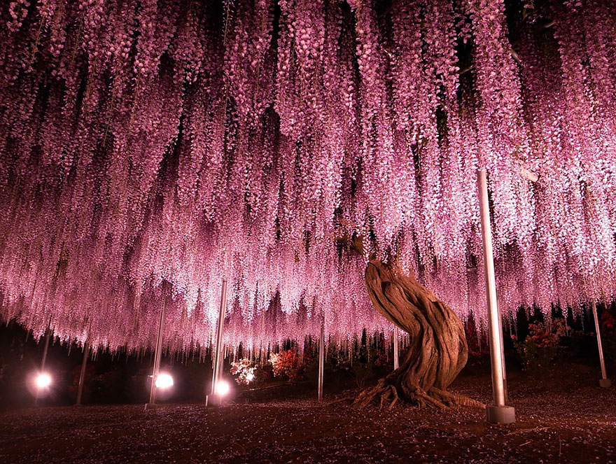 10+ Reasons You Should Drop Everything And Go To Japan's Wisteria Festival ASAP - Εικόνα 1