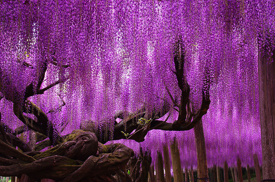 10+ Reasons You Should Drop Everything And Go To Japan's Wisteria Festival ASAP - Εικόνα 10