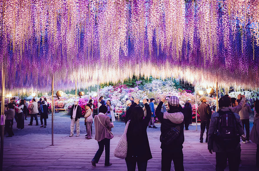 10+ Reasons You Should Drop Everything And Go To Japan's Wisteria Festival ASAP - Εικόνα 13