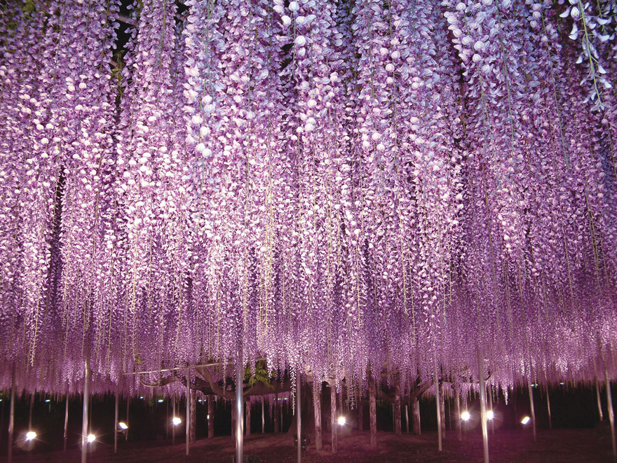 10+ Reasons You Should Drop Everything And Go To Japan's Wisteria Festival ASAP - Εικόνα 16