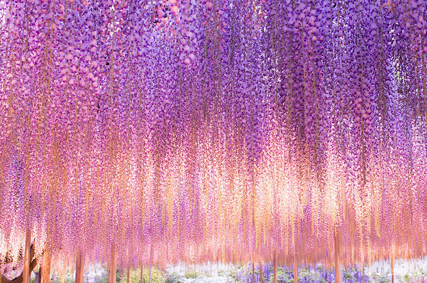 10+ Reasons You Should Drop Everything And Go To Japan's Wisteria Festival ASAP - Εικόνα 22
