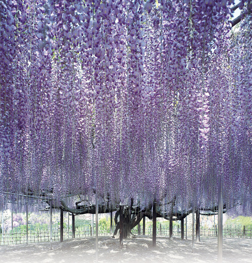 10+ Reasons You Should Drop Everything And Go To Japan's Wisteria Festival ASAP - Εικόνα 25