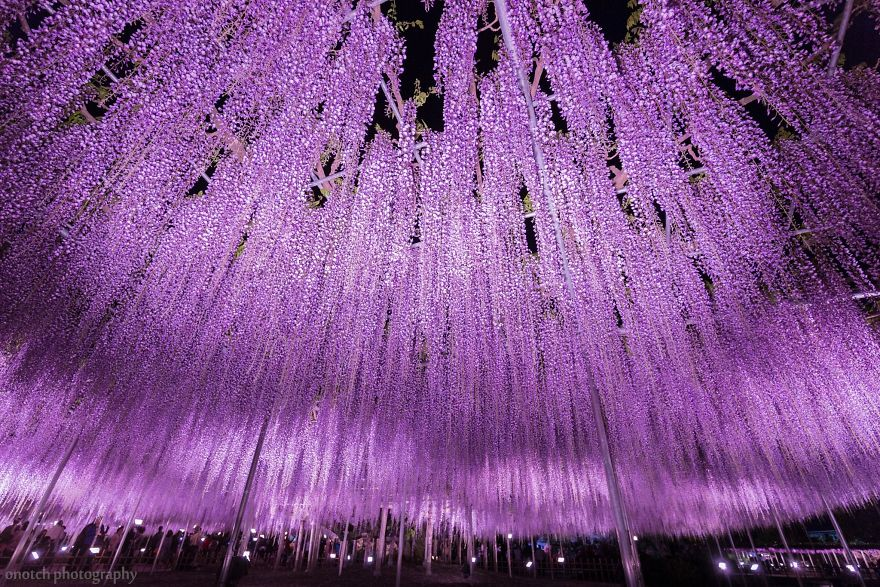 10+ Reasons You Should Drop Everything And Go To Japan's Wisteria Festival ASAP - Εικόνα 28