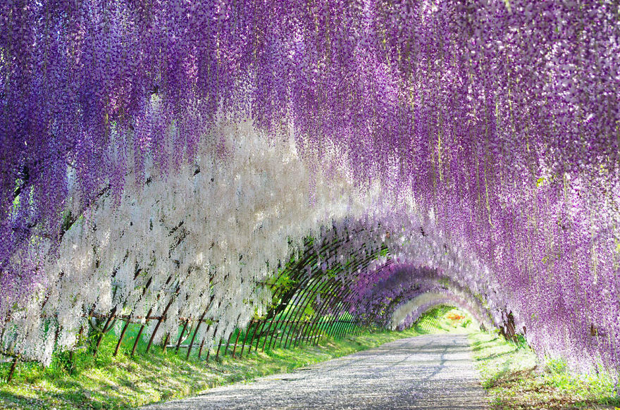 10+ Reasons You Should Drop Everything And Go To Japan's Wisteria Festival ASAP - Εικόνα 4