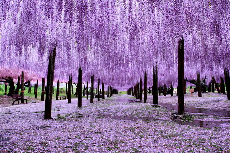 10+ Reasons You Should Drop Everything And Go To Japan's Wisteria Festival ASAP - Εικόνα 7